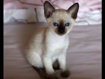 Продаются чисто породистые тайские котята уже сами кушают очень
