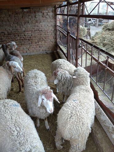 Продаю | Овца (самка), Ягненок | Полукровка, Меринос | Для разведения, Для шерсти | Ярка