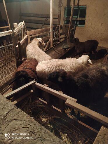 Продаю | Овца (самка), Ягненок | На забой, Для разведения | Котные, Ярка