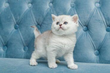 Πανέμορφα σκωτσέζικα γατάκια προς πώλησηδιαθέτουμε αρσενικά και θηλυκά