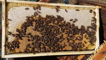 Продаю хороших, сильных, здоровых пчел. карника carnica немка