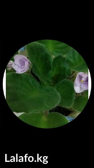 Продаю фиалки молодые цвести будут весной светло сиреневые в Бишкек