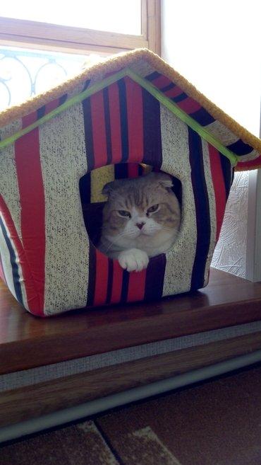 Шотландский кот ( фолд) временно открыт для вязки. в Бишкек