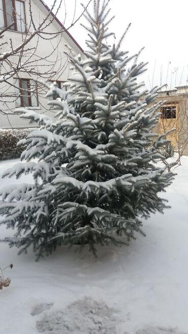 сибирский ель в Кыргызстан: Продаю голубой Ель 3шт