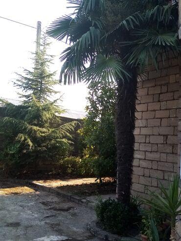Palma ağacı, 20 ilin ağacıdı