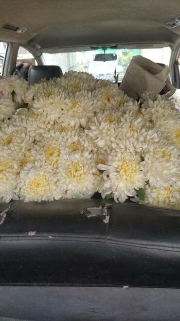 Садовые зонты - Кыргызстан: Куплю цветы георгины эвилин хризантема лилия