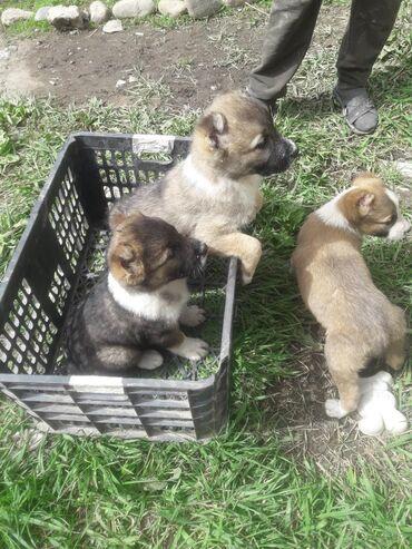 Продаю щенков САО Алабай щенкам один месяц. возможен обмен. Г
