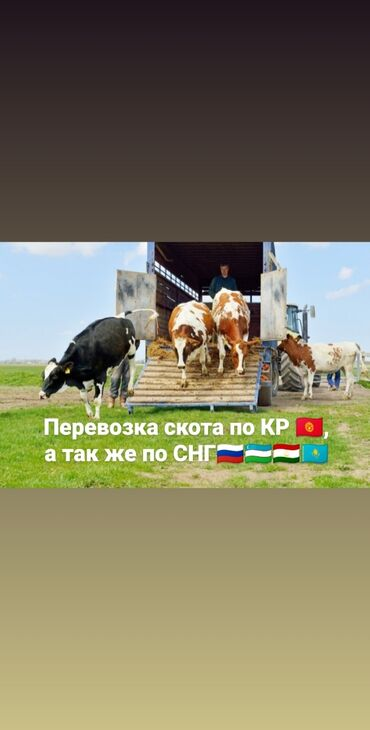 дойные коровы бишкек в Кыргызстан: Услуги по перевозке скота по Кыргызстану и СНГ, Скотовозы