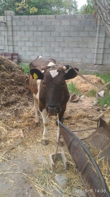 продам теленка в Кыргызстан: Продаю корову с теленком прошу 120т