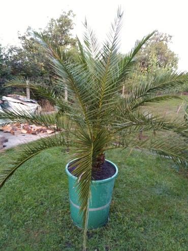 Prelepa palma stara vise od tridesetpet godina. - Kikinda