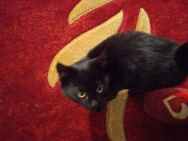 котенок в Кыргызстан: Котёнок Девочка милая шерсть это просто нечтоигривая