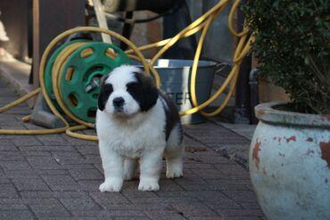 Dostupni psići Saint Bernard Na prodaju imam 4 psića, oba roditelja s