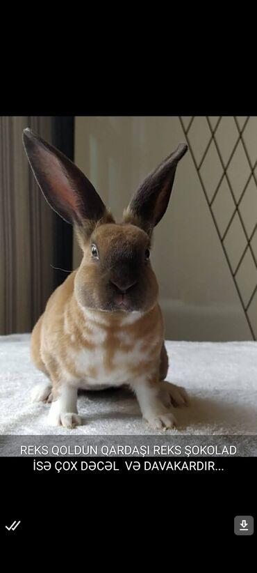 Digər heyvanlar - Azərbaycan: Reks cinsli 5 ay 15 günlük erkək dovşan satılır.Sağlamdır dərmanları