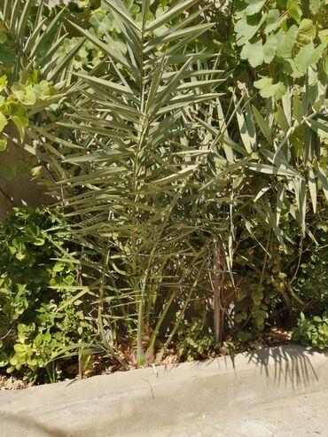 Otaq bitkiləri Xırdalanda: Xurma agaci satilir 4 ilin 270 manat Real aliciya edirdim
