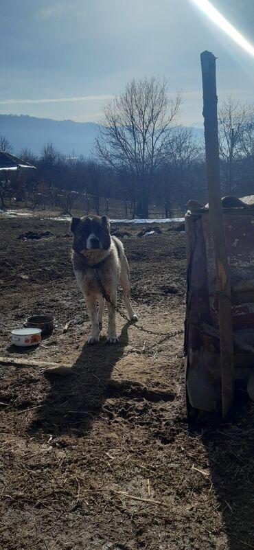 Животные - Гусар: Собаки