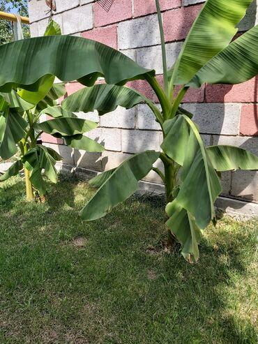 869 объявлений: Банановые пальмы