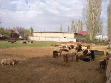 Продаю баранов с ягнятами в Бишкек