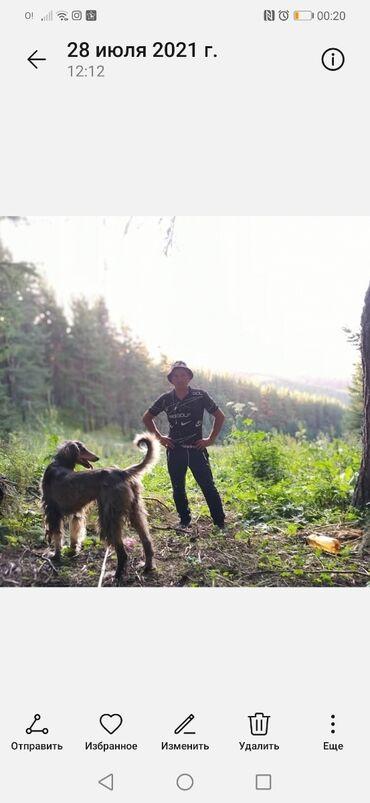 36 объявлений   ЖИВОТНЫЕ: Тайган чиста кровный Абмен на овчарку