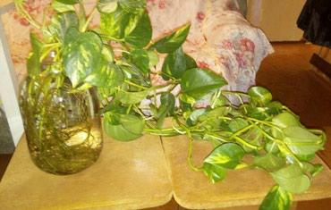 Продаю большие укорененные отростки вьющегося растения  в Бишкек