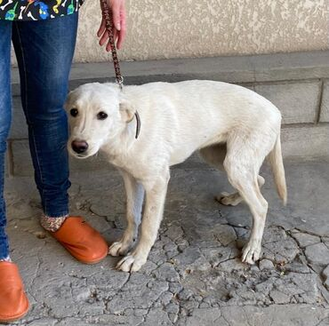 Молодая красивая собака Боня ищет дом. Два месяца назад нашли раненную