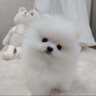 Λευκά χαριτωμένα Pomeranian κουτάβια προς πώληση και έτοιμα για νέα