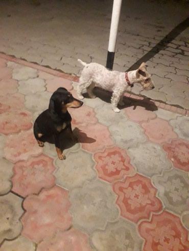 Собаки в Кок-Ой