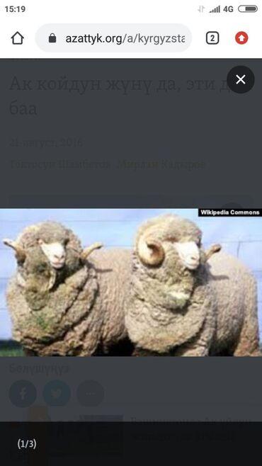 С/х животные - Кок-Ой: АК койдун жунун сатам 170тен кг, примерно 100 кг бар