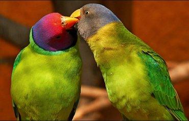 Попугаи разных видов от 600 сомов и выше в Кок-Ой