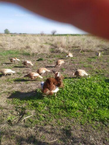 Животные - Садовое (ГЭС-3): Индюшки узбекская палевая парода