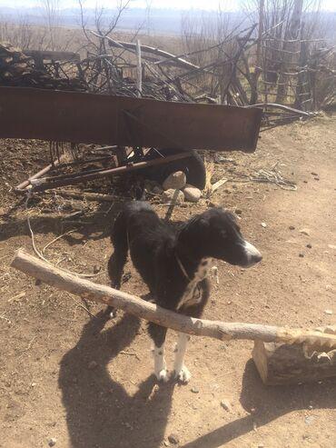 Животные - Чаек: Срочног Тайган чистокровный продаю за 10000с документтом