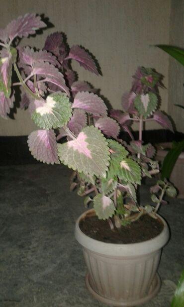 Другие комнатные растения - Кыргызстан: Колеус декабрист маранта алоэ, пеперомия, колеус, бегония в о