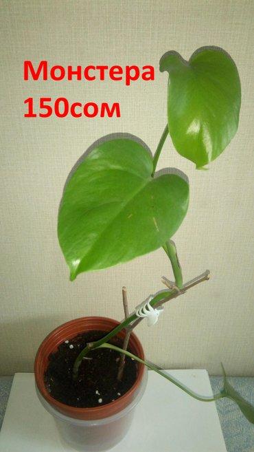 Продаю комнатные растения от 150 с до 300 в Бишкек - фото 2