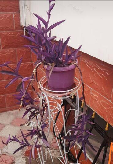 Другие комнатные растения - Кыргызстан: Традесканция бледная (цветы комнатные )