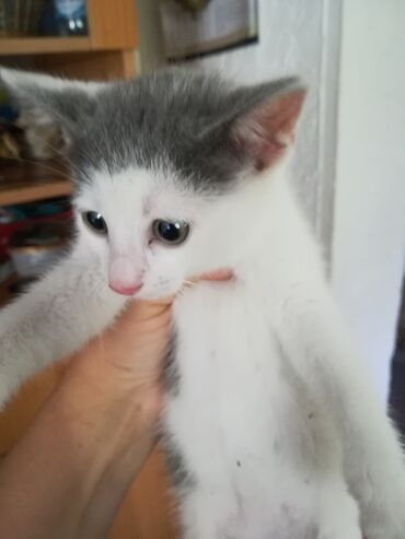 Mačke | Srbija: Bela maca. Druželjubiva, voli da se mazi pametna zna da obavlja