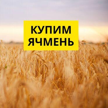 Купим Ячмень, Выкуп Ячменя 2021. Аталык покупает фуражное зерно ячменя