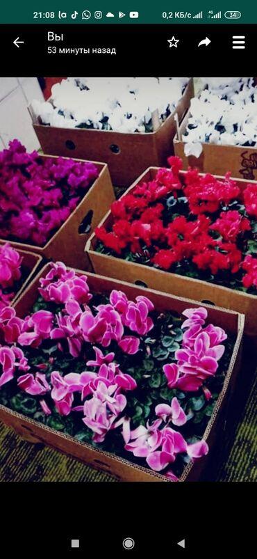 Комнатные растения - Кыргызстан: Цикламены оптом и в розницу