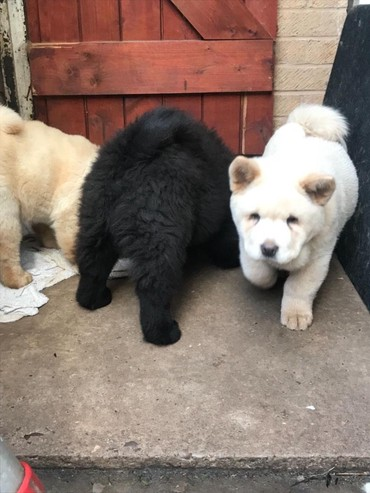Smooth & Rough Chow Chow Puppies σε Athens