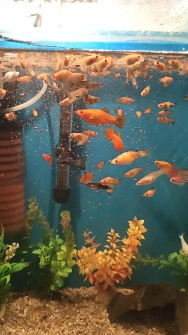 guppi baliqlari - Azərbaycan: ✓Moli Malnezi balıqları satılır.✓Tək tək 1 azn minumum 5 ədəd✓Topdan1