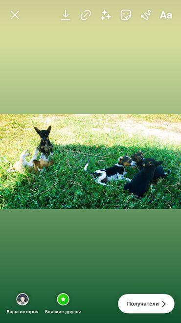 Животные - Джал мкр (в т.ч. Верхний, Нижний, Средний): Отдам даром щенят-звоночек Два мальчика и три девочкиОчень активные и
