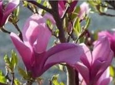 Kuća i bašta - Vladicin Han: Magnolija ljubicasta skoro 2 metra visoka