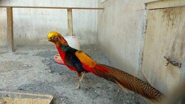 Золотой фазан, за особь