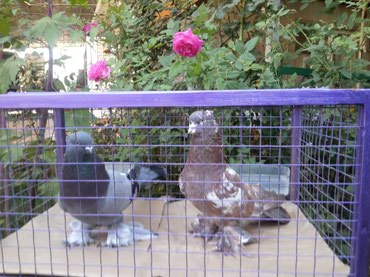 Продаю Голубей Андижаны  пара  10 000  сом в Бишкек