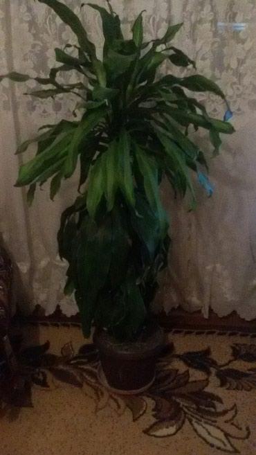 Продаю комнатную пальму. в Бишкек