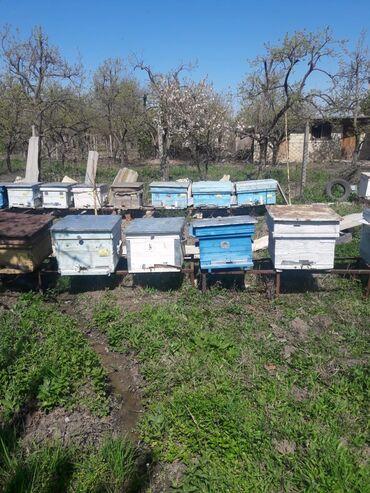 Heyvanlar Samuxda: Bir neçə arı ailəsi satılır, qiyməti razılaşma yolu ilə. Malik