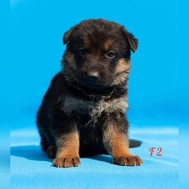 Животные - Кыргызстан: Продаются перспективные щенки Немецкой овчарки чепрачного окраса. Отец