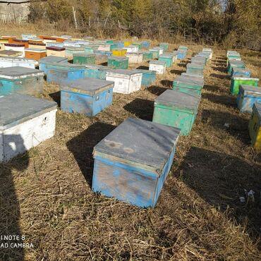 Другие животные - Кыргызстан: Срочно аары семья сатылат ящиги менен 20 рамкалык лежак фанерадан