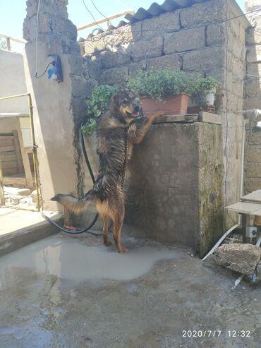 dog - Azərbaycan: 8ayliq erkək qurdbasar iti satilir.butun iyne dermanlari vurulub.yaxsi