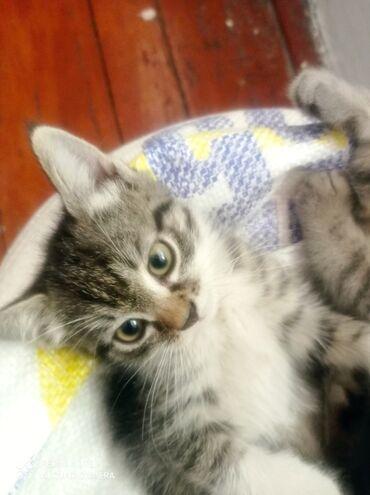 1579 объявлений: Домашние котята 2 месяца Приученные к лотку,хорошо кушают