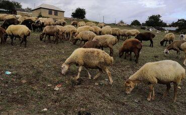 quzular - Azərbaycan: Qoyunlar. 52 baş. Altında quzular 10 baş. Keçilər 8 baş. İsmayıllı