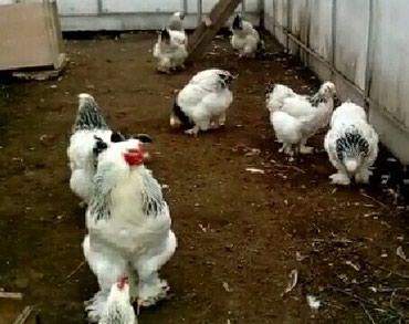 - Azərbaycan: Brama yumurtasi hamsinnan Alana 4man seher daxilinde catdirilma var